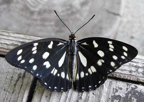 500px-Hestina_persimilis_japonica2.jpg